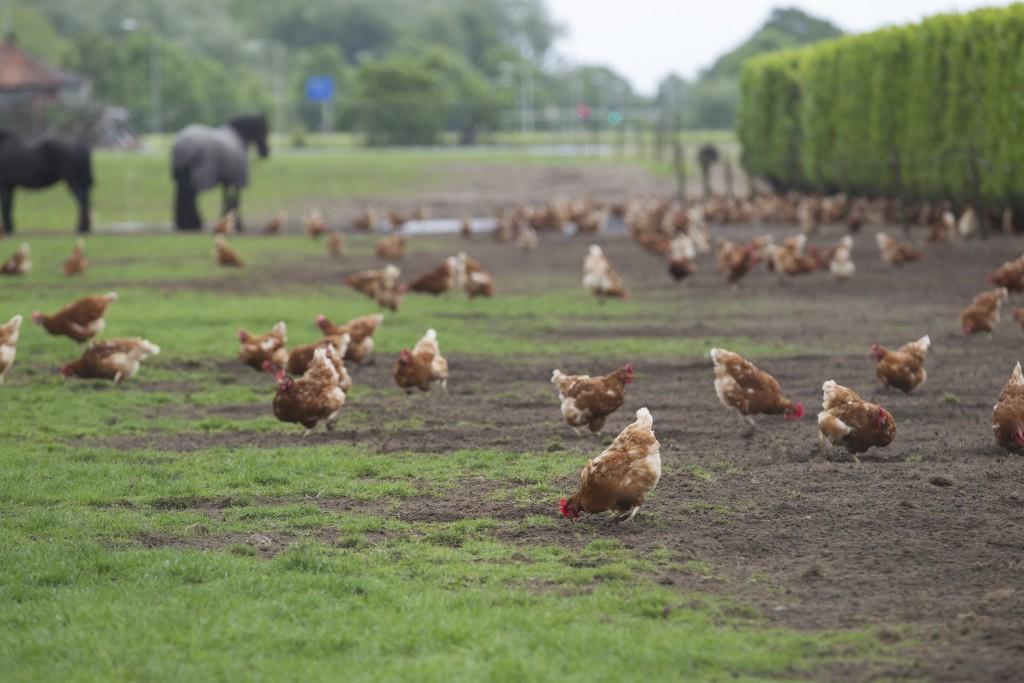 Premier Meat Company Free Range Chickens Feeding Field