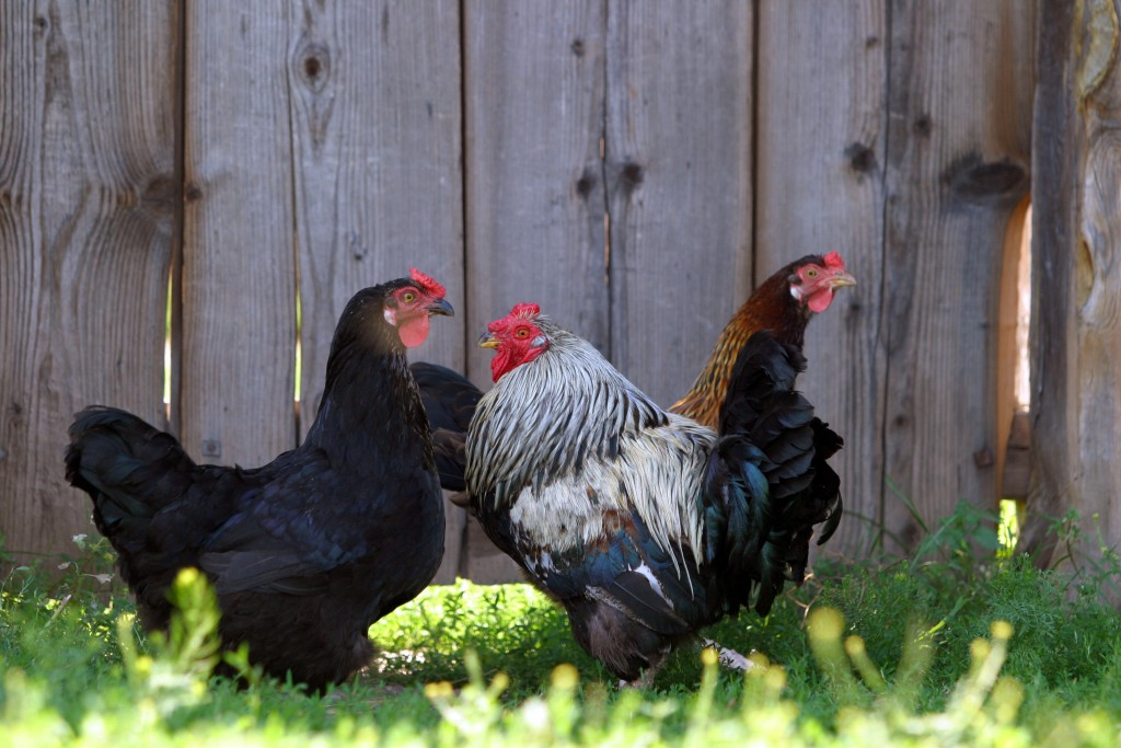 Premier Meat Company Hen Farm Free Range Chicken Farm Humane Sustainable Meat Delivery